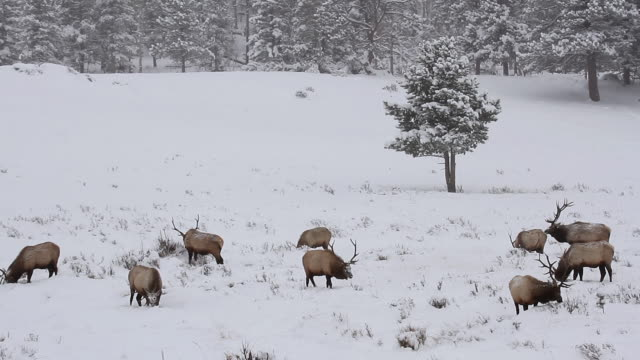 ws shot of nine large bull elk wading through fresh snow looking for their next meal / estes park, colorado, united states - medium group of animals stock videos & royalty-free footage