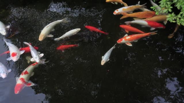 ms shot of nishikigoi,koi,cyprinus carpio at glover garden / nagasaki, nagasaki prefecture, japan - koi carp stock videos & royalty-free footage