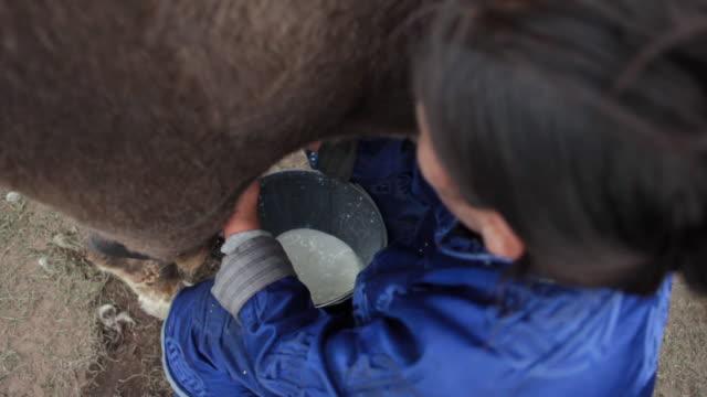 stockvideo's en b-roll-footage met cu shot of nomad woman milking yak / central-south mongolia, mongolia - alleen één mid volwassen vrouw