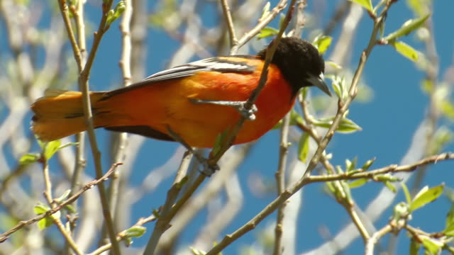 cu shot of northern oriole feeding / picton, ontario, canada - uccello video stock e b–roll