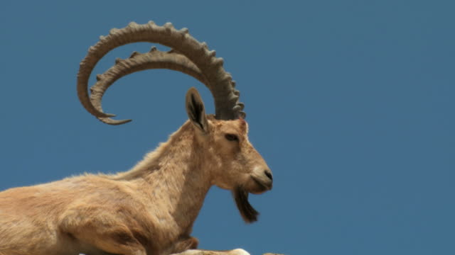 vidéos et rushes de cu shot of nubian ibex, capra ibex nubiana of male on rocky ridge / ein avdat, negev desert, israel - bouquetin des alpes