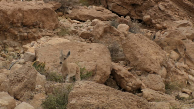 MS TS Shot of Nubian ibex (Capra nubiana) young kid walking on rocks / Ein Avdat, Negev Desert, Israel