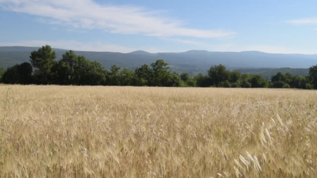 td shot of oat field - luberon stock-videos und b-roll-filmmaterial