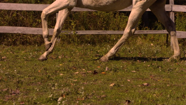 ms ts slo mo shot of off white horses feet galloping across bright field / shady, new york, united states - animale da lavoro video stock e b–roll