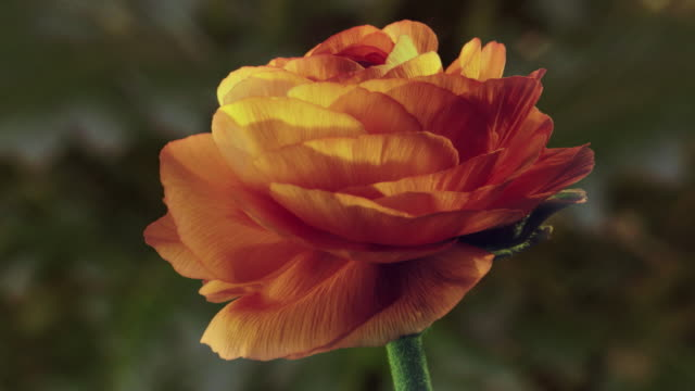 CU T/L Shot of orange rose flower opening / Studio City, California, United States