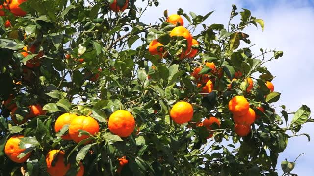 cu shot of orange tree / fornalutx, mallorca, balearic islands, spain - オレンジの木点の映像素材/bロール
