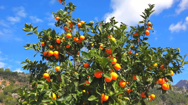 MS Shot of orange tree / Fornalutx, Mallorca, Balearic Islands, Spain