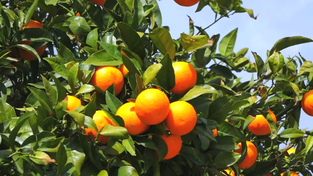 CU Shot of orange tree / Fornalutx, Mallorca, Balearic Islands, Spain