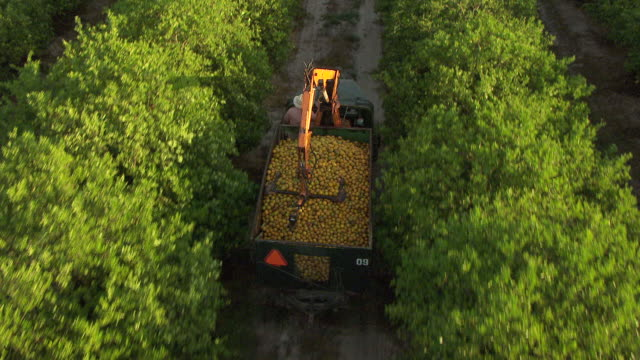 MS AERIAL TS Shot of orange truck loaded with oranges and driving through groves in Collier County / Florida, United States