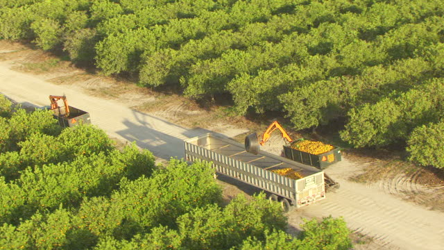 ws aerial ds zi shot of orchards push in tractor dumping oranges into trailer in collier county / florida, united states - grove stock videos & royalty-free footage