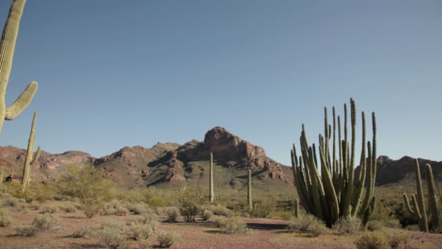 MS PAN Shot of Organ Pipe Cactus and Saguaro cactus / Organ Pipe Cactus National Park, Arizona, United States