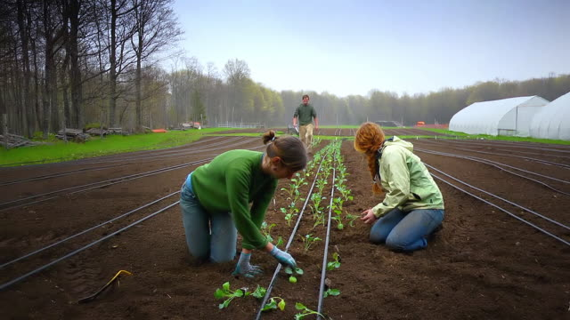 MS SLO MO Shot of Organic farmers plant rows of vegetables by hand, two young women in front side and two young men in back side / Chatham, Michigan, United States