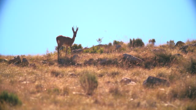 WS R/F Shot of Oribi (Ourebia ourebi) standing in savannah / Addo Elephant National Park, Eastern Cape, South Africa