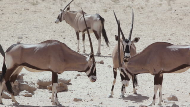 MS POV Shot of Oryx (Gemsbok) at watering hole fighting and displaying dominance / Kgalagadi Transfrontier Park, Northern Cape, South Africa