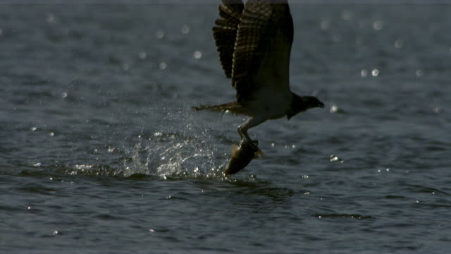 shot of osprey eagle hunting fish - osprey stock videos & royalty-free footage