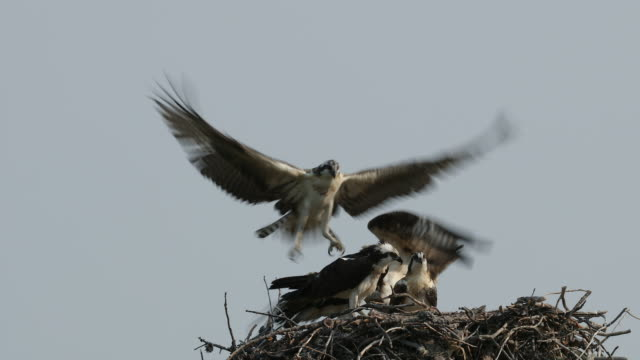 stockvideo's en b-roll-footage met ts 4k shot of osprey (pandion haliaetus) flying into the nest - visarend