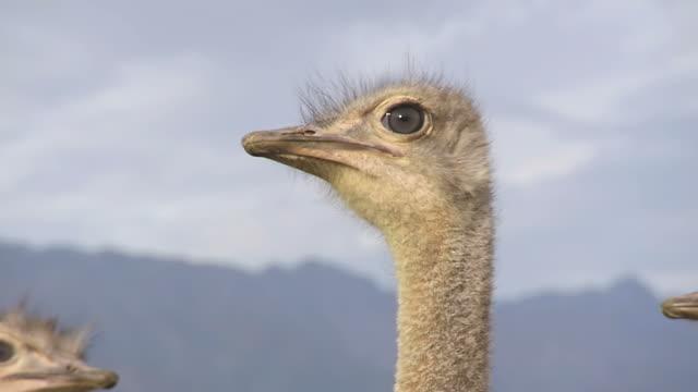 cu shot of ostrich head / western cape, south africa - 動物の頭点の映像素材/bロール