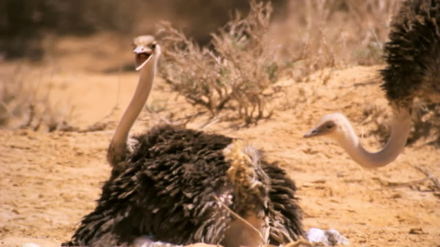 cu shot of ostrich (struthio camelus) laying on eggs in desert / yotvata, negev desert, israel - reclining stock videos and b-roll footage