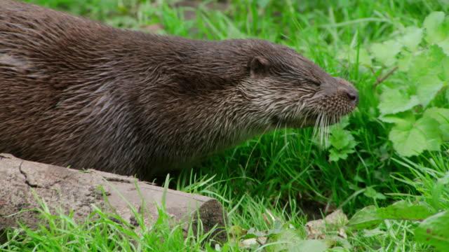 ms slo mo shot of otter eating fish / various, united kingdom - カワウソ点の映像素材/bロール