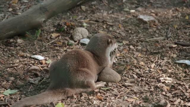ms shot of otter pups eating fish in enclosure / various, united kingdom - カワウソ点の映像素材/bロール
