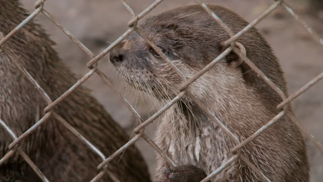 cu shot of otters at fence / various, united kingdom - trapped stock videos & royalty-free footage