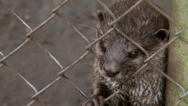cu shot of otters within an enclosure fence / various, united kingdom - trapped stock videos & royalty-free footage