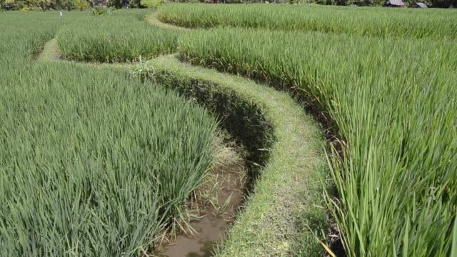 ms tu shot of paddy field and palmtrees / ubud, bali, indonesia - ubud district stock videos & royalty-free footage