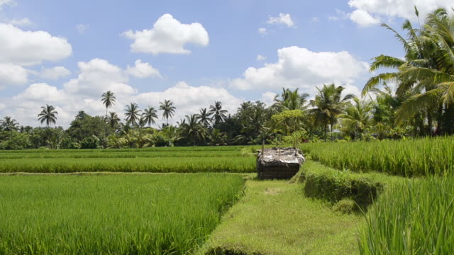 ms pan shot of paddy field and palmtrees / ubud, bali, indonesia   - ubud district stock videos & royalty-free footage