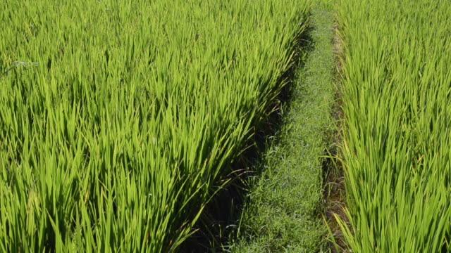 ms tu shot of paddy field / ubud, bali, indonesia - ubud district stock videos & royalty-free footage