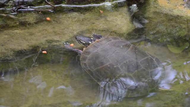 CU Shot of Painted turtle eating reptile food in pond