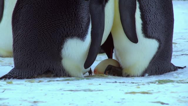 stockvideo's en b-roll-footage met cu shot of pair of emperor penguins on snow hand over new egg with blood visible / dumont d'urville station, adelie land, antarctica - vier dieren