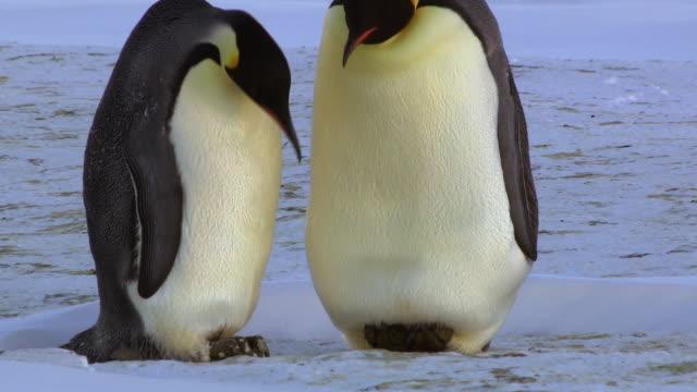 MS TU Shot of pair of Emperor penguins one reveals egg to faces / Dumont D'Urville Station, Adelie Land, Antarctica