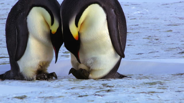 MS TD Shot of pair of Emperor penguins one reveals egg to prodding egg prior / Dumont D'Urville Station, Adelie Land, Antarctica