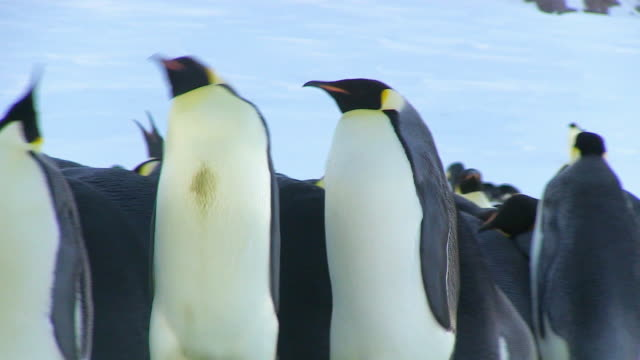vidéos et rushes de ms ts shot of pair of emperor penguins waddle dance pan left as they move through colony / dumont d'urville station, adelie land, antarctica - manchot