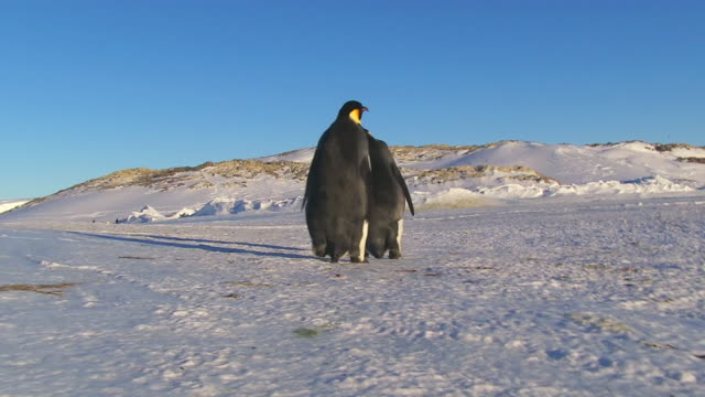"""WS POV Shot of Pair of Emperor penguins waddle dancing away and one falling over / Dumont D'Urville Station, Adelie Land, Antarctica"""