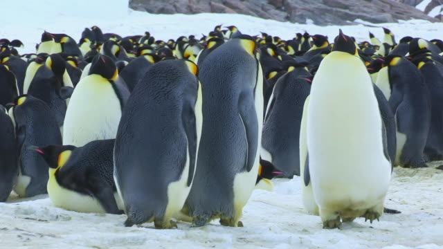 """MS TS Shot of Pair of Emperor penguins waddle towards colony in back side and falling over / Dumont D'Urville Station, Adelie Land, Antarctica"""