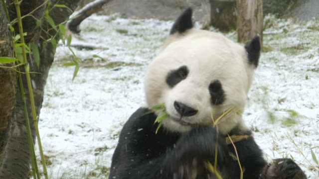 cu shot of panda eating bamboo in snow and then eating on his back / edinburgh, united kingdom  - edinburgh scotland stock videos & royalty-free footage