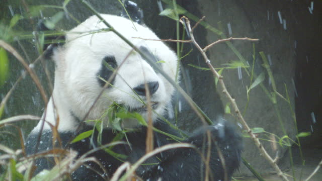 cu zi shot of panda eating bamboo in snow / edinburgh, united kingdom  - bamboo plant stock videos & royalty-free footage