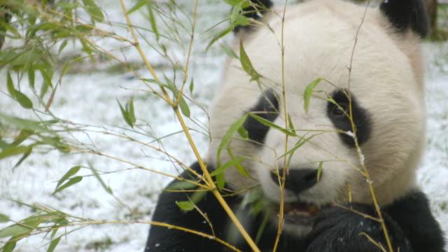cu shot of panda eating bamboo in snow / edinburgh, united kingdom  - panda stock-videos und b-roll-filmmaterial