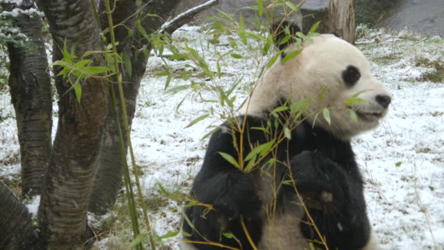 cu zi shot of panda eating bamboo in snow / edinburgh, united kingdom  - bamboo plant stock videos & royalty-free footage