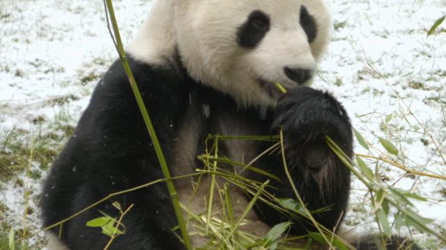 cu tu shot of panda eating bamboo in snow / edinburgh, united kingdom  - 30 seconds or greater stock videos & royalty-free footage