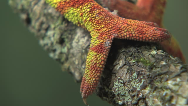 vidéos et rushes de cu ts shot of panther chameleon foot slowly edging forward and gripping branch at south western area of madagascar / madagascar - caméléon
