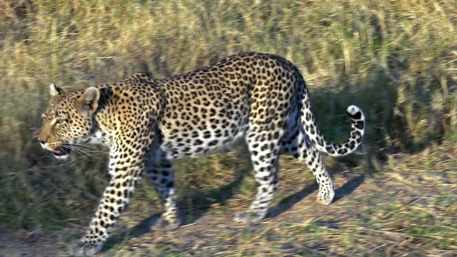 MS TS Shot of panthera pardus, Mother with Cub walking at forest area / Moremi Reserve, Botswana, South Africa