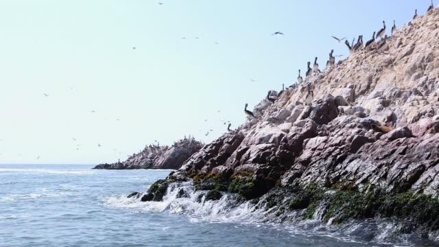 WS POV Shot of paracas birds sitting on rocks of Pisco bay / Paracas, Nazca, Peru