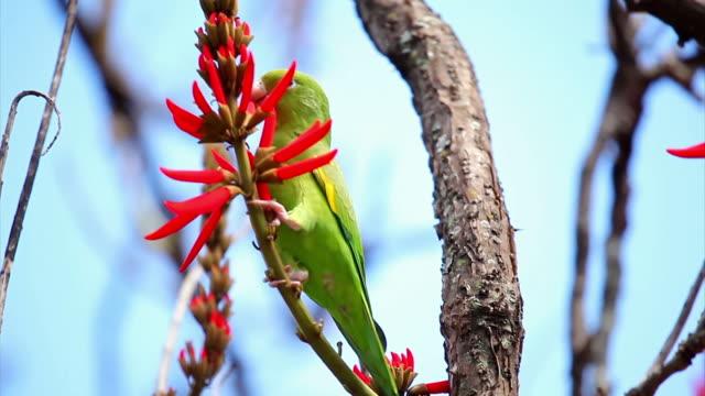 cu shot of parakeet / belo horizonte, minas gerais, brazil - horizonte stock videos & royalty-free footage