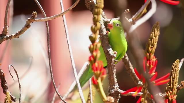 MS TS Shot of Parakeet / Belo Horizonte, Minas Gerais, Brazil