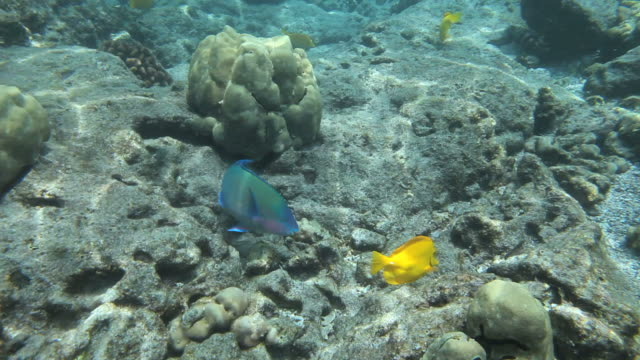ms ts shot of parrot fish eating coral with yellow tang and other tropical fish in distance in kealakekua bay / kealakekua, hawaii, big island, united states - ブダイ点の映像素材/bロール