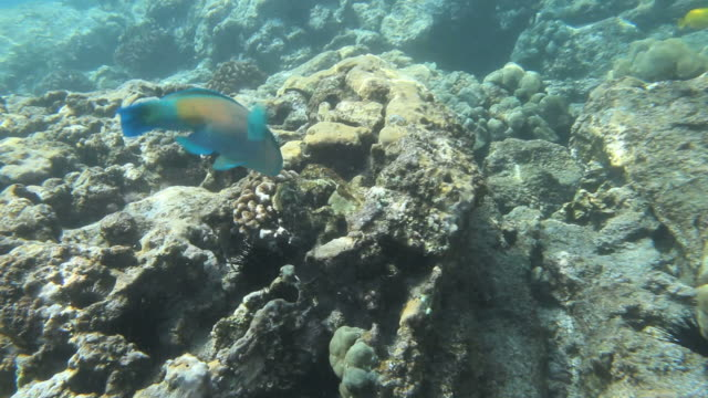 ms pov shot of parrot fish eating coral with yellow tang and other tropical fish in distance in kealakekua bay / kealakekua, hawaii, big island, united states - ブダイ点の映像素材/bロール