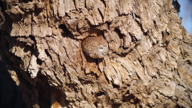 cu shot of pearl-spotted owlet in tree hollow / etosha national park, namibia - 迷彩柄点の映像素材/bロール