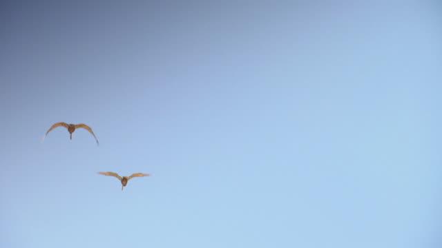 vidéos et rushes de ms ts shot of pelicans flying / los angeles, california, united states - petit groupe d'animaux